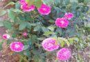 Trandafirul pentru dulceata