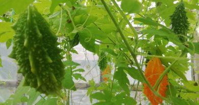 Cum sa cultivi Castravete Amar